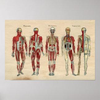 Human Anatomy 1841 Print Muscles Nerves