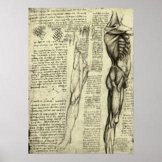 Human Anatomy Male Muscles by Leonardo da Vinci Poster