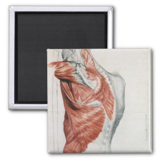 Human Anatomy Muscles of the Torso and Shoulder Magnet