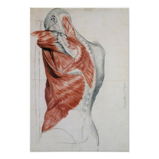 Human Anatomy; Muscles of the Torso and Shoulder Poster