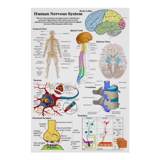 Human brain and central nervous system diagram poster zazzle human brain and central nervous system diagram poster ccuart Gallery