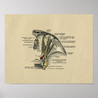 Human Eye Nerves Anatomy 1902 Vintage Print