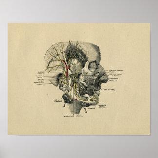 Human Facial Nerves Anatomy 1902 Vintage Print