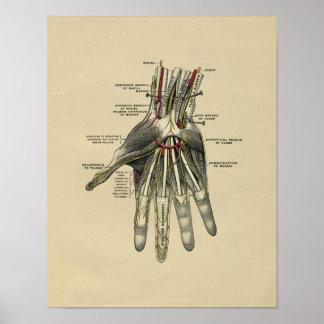 Human Hand Anatomy 1902 Vintage Print