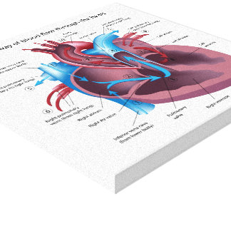 Human heart anatomy stretched canvas print