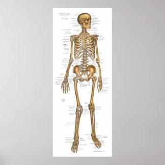 Human Skeletal System Anatomy Chart 24 X 60