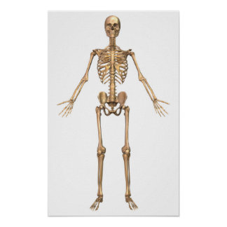 Human Skeletal System, Front View Poster