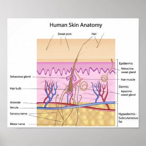 Human Skin Anatomy Poster