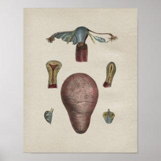 Human Uterus Anatomy Vintage Print