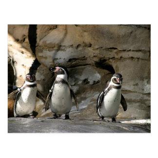Humboldt Penguin Postcard