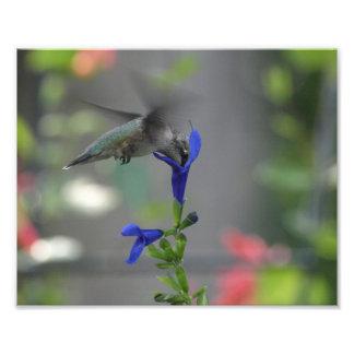 Humming Bird salvia sapphire blue print