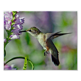 Hummingbird 733 poster