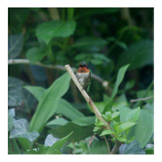 Hummingbird, Acrylic Print. Acrylic Print