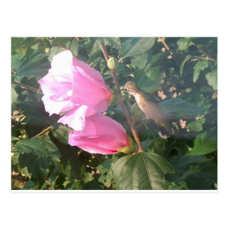 Hummingbird and Rose of Sharon Postcard