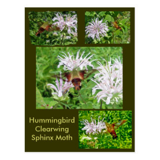 Hummingbird Clear Wing Moth Coordinating Items Postcard