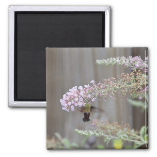 Hummingbird Clearwing Moth Blank Card Square Magnet
