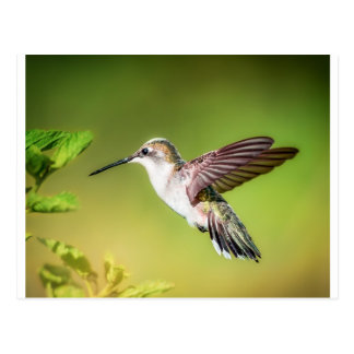 Hummingbird in flight postcard