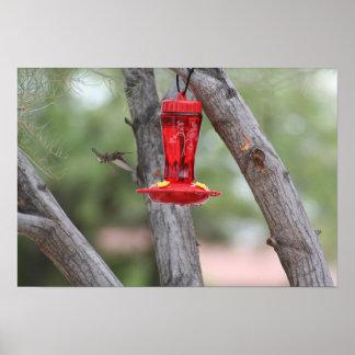 Hummingbird in Flight Tucson, AZ Poster