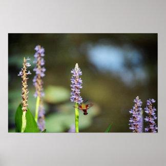 Hummingbird Moth on Pickerel-weed Poster