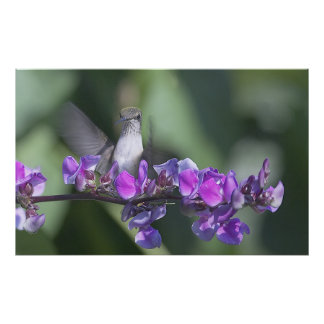 Hummingbird on Thomas Jefferson Vine Poster