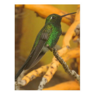 Hummingbird Photography Postcard