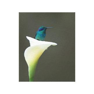 Hummingbird Sitting in a Calla Lilly Canvas Print
