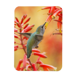 Hummingbird surrounded by red yucca magnet