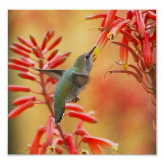 Hummingbird surrounded by red yucca poster