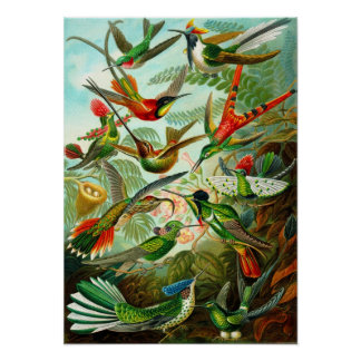 Hummingbirds Poster