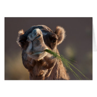 Hump Day Camel Feasting on Green Grass Greeting Card