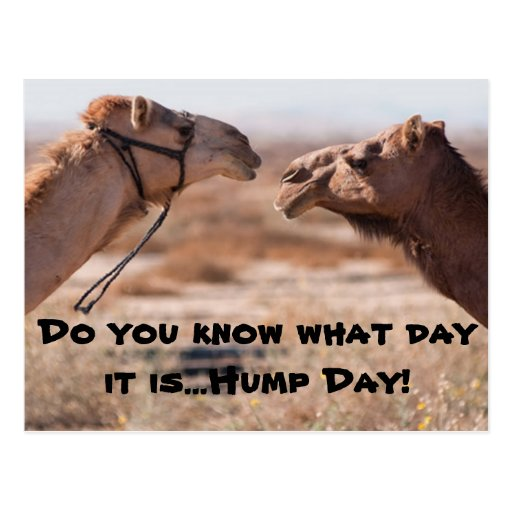 Hump Day Camels Post Cards