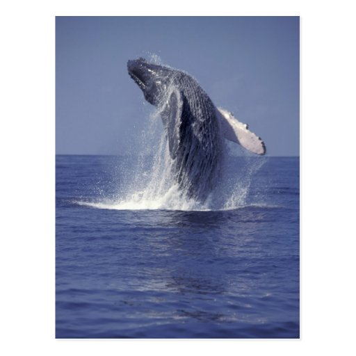 Humpback whale breaching (Megaptera Post Cards
