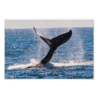 Humpback Whale - Tail Fluke Photo Print