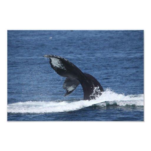 humpback whale tail flukes print photographic print