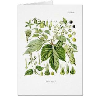 Humulus lupulus (Hop) Card