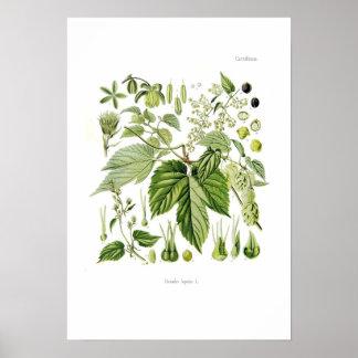 Humulus lupulus (Hop) Poster