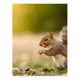 Hungry Squirrel Postcard