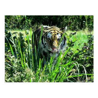 Hungry Tiger Postcard
