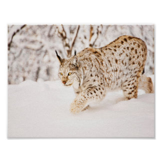 Hunting lynx cat in snow poster