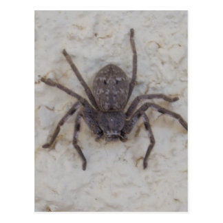 Huntsman_Spider, Postcard