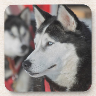 Husky dog before a race, Canada Coaster