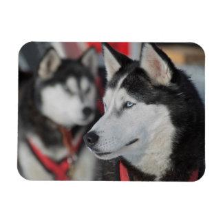 Husky dog before a race, Canada Magnet