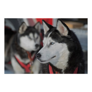 Husky dog before a race, Canada Poster