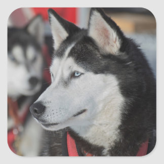 Husky dog before a race, Canada Square Sticker