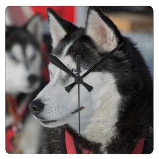 Husky dog before a race, Canada Square Wall Clock