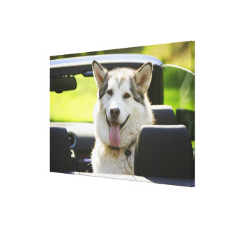 Husky dog from convertible gallery wrap canvas