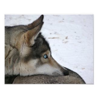 Husky dog with blue eyes photo