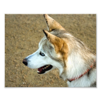 Husky Portrait Photograph