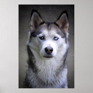 Husky portrait poster
