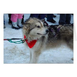 Husky Sled Dog Greeting Card